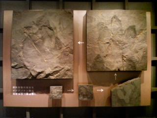 勝山で出土した化石